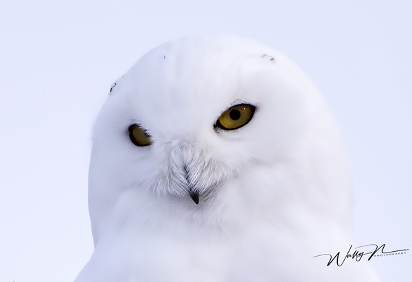 Snowy Owl_16_02_2013_IMG_6069 - Snowy Owl - Walter Nussbaumer Photography