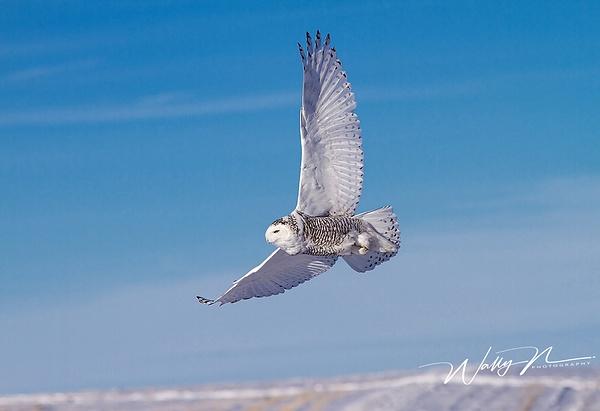 SnowyOwl_02_02_2013_IMG_5769 - Snowy Owl - Walter Nussbaumer Photography
