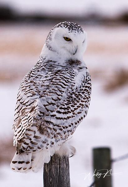 Snowy Owl_IMG_6028 - Snowy Owl - Walter Nussbaumer Photography