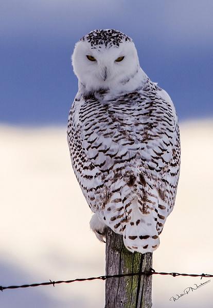Snowy Owl_IMG_6048 - Snowy Owl - Walter Nussbaumer Photography