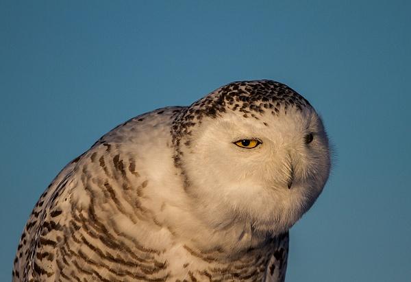 Snowy Owl_10_02_2013_IMG_5940 - Snowy Owl - Walter Nussbaumer Photography