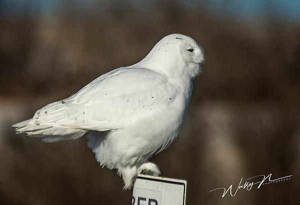 Snowy Owl_DSC4381 - Snowy Owl - Walter Nussbaumer Photography