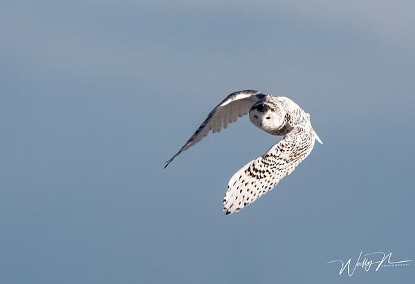 Snowy Owl_R8A9909 - Snowy Owl - Walter Nussbaumer Photography