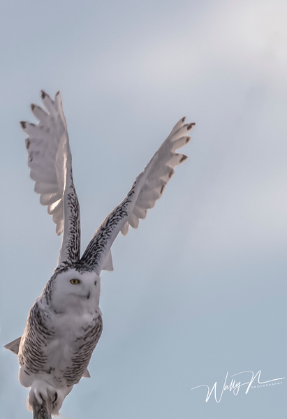 Snowy Owl_R8A9901 - Snowy Owl - Walter Nussbaumer Photography