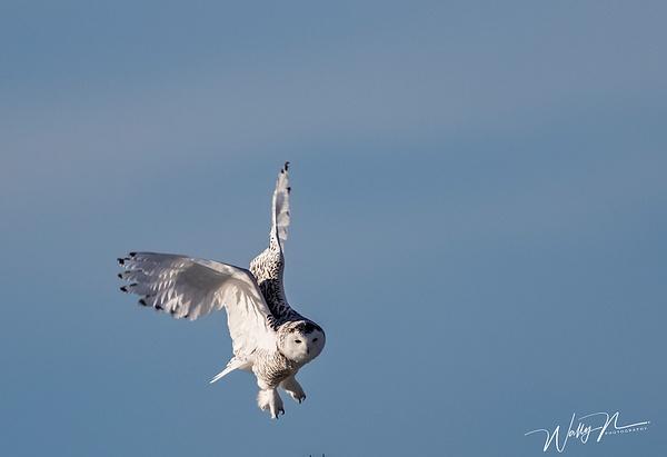 Snowy Owl_R8A9907 - Snowy Owl - Walter Nussbaumer Photography