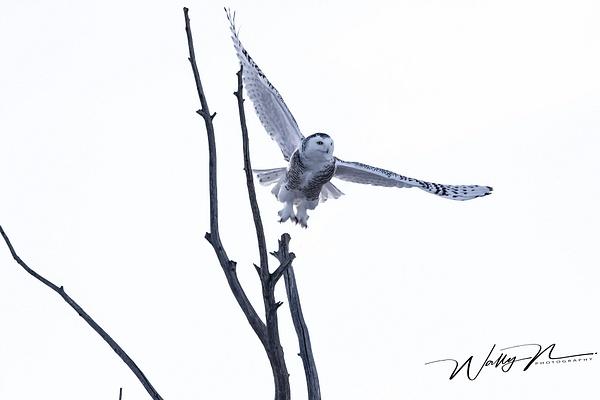SO_R8A9902 - Snowy Owl - Walter Nussbaumer Photography