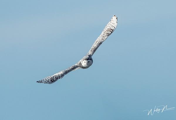 Snowy Owl_R8A9911 - Snowy Owl - Walter Nussbaumer Photography