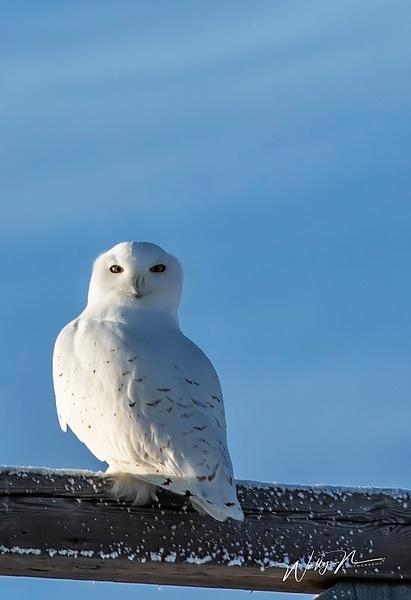 Snowy_73A9611 - Snowy Owl - Walter Nussbaumer Photography