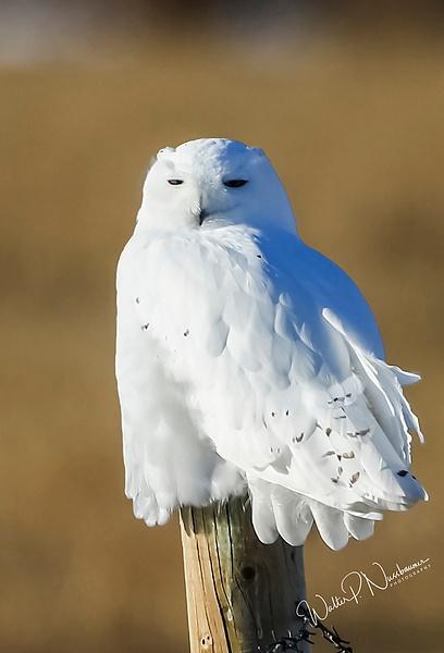 Snowy Owl_0R8A9087 - Snowy Owl - Walter Nussbaumer Photography