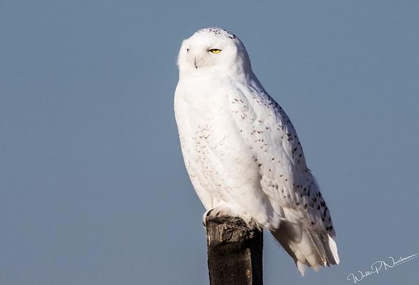 Snowy Owl_0R8A9110 - Snowy Owl - Walter Nussbaumer Photography