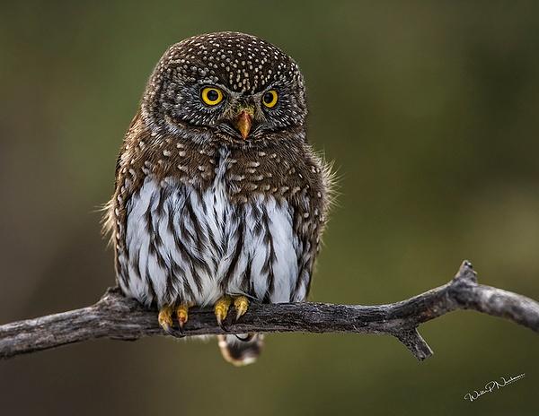 Pygmy Owl_0R8A9848 - Pygmy Owl -Walter Nussbaumer Photography