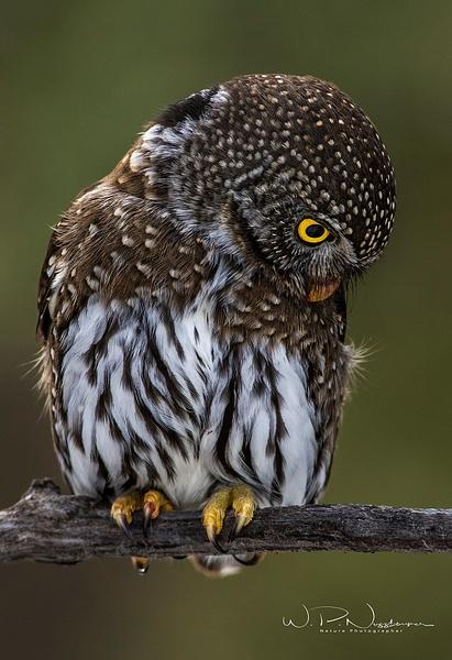 Northern Pygmy Owl(B)_0R8A9801 - Pygmy Owl -Walter Nussbaumer Photography