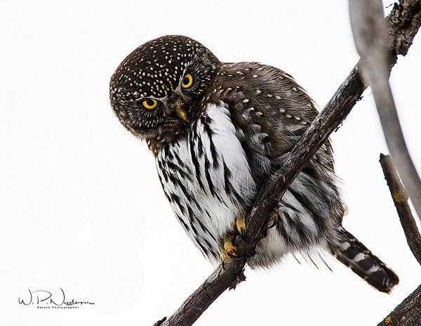Pygmy Owl_0R8A0012 - Pygmy Owl -Walter Nussbaumer Photography