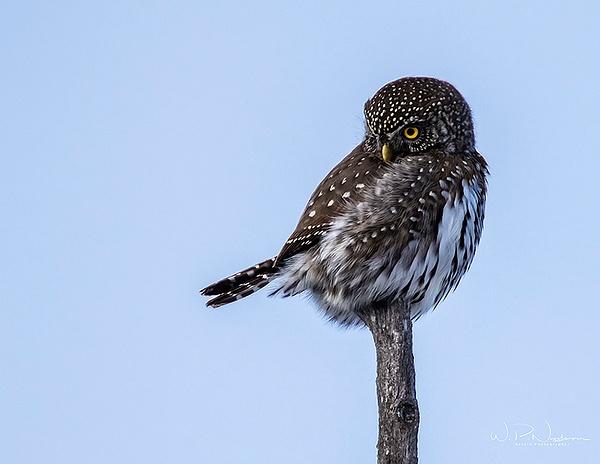 Pygmy Owl_0R8A9577 - Pygmy Owl -Walter Nussbaumer Photography