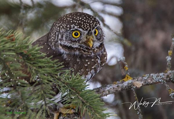 Northern Pygmy Owl_0R8A9850 - Pygmy Owl -Walter Nussbaumer Photography
