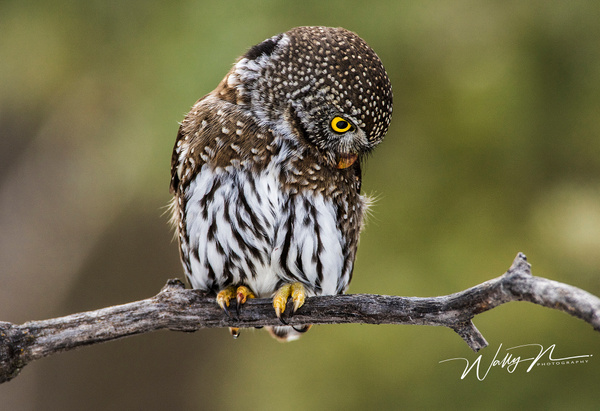 Pygmy_0R8A9804 - Pygmy Owl -Walter Nussbaumer Photography