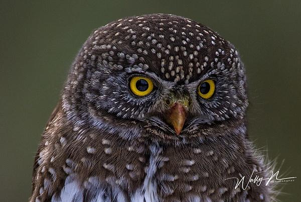 Northern Pygmy Owl_0R8A9849 - Pygmy Owl -Walter Nussbaumer Photography