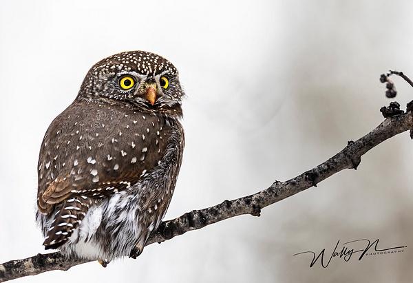 Pygmy Owl_0R8A9687 - Pygmy Owl -Walter Nussbaumer Photography