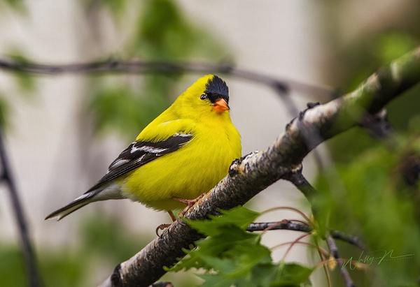 Goldfinch_MG_1525 - Birds - Walter Nussbaumer Photography