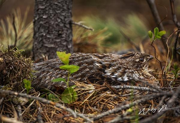 Ruffed Grouse(B)_073A3321 - Birds - Walter Nussbaumer Photography