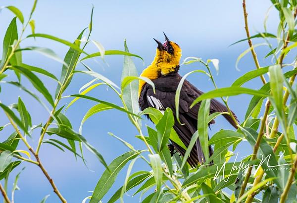 Yellow Headed Blackbird_073A3697 - Birds - Walter Nussbaumer Photography