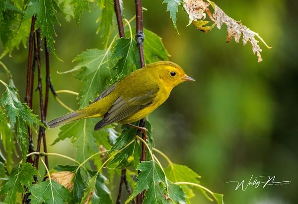 Wilson's Warbler_0R8A0627 - Birds - Walter Nussbaumer Photography