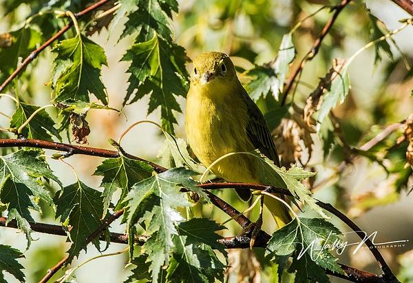 Yellow Warbler_0R8A0574 - Birds - Walter Nussbaumer Photography