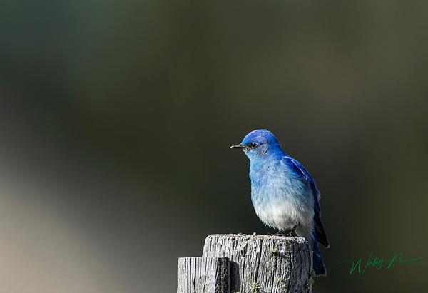 Mountain Bluebird_0R8A9972 - Birds - Walter Nussbaumer Photography