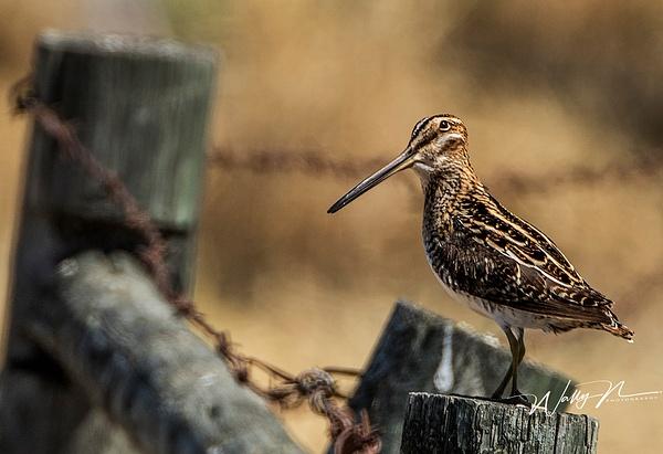 Wilson's Snipe_0R8A9992 - Birds - Walter Nussbaumer Photography
