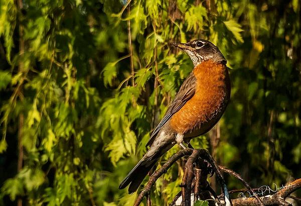 American Robin_DSC4022 - Birds - Walter Nussbaumer Photography
