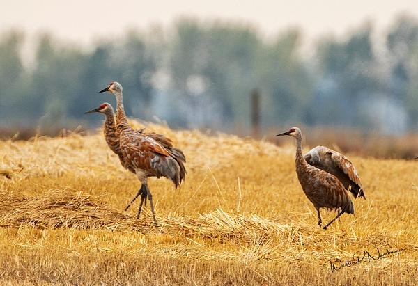 Sandhill Cranes_R8A9730 - Birds - Walter Nussbaumer Photography