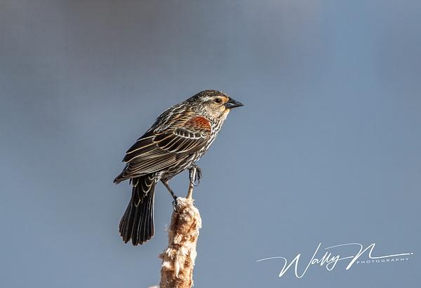 Red-wing Blackbird (female)_R8A8170 - Birds - Walter Nussbaumer Photography