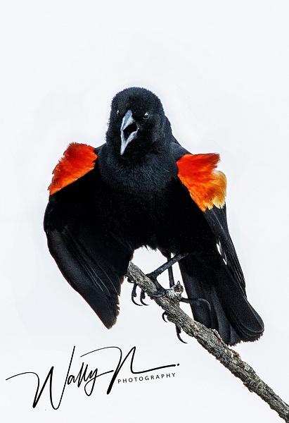 RW Blackbird_R8A7899 - Birds - Walter Nussbaumer Photography