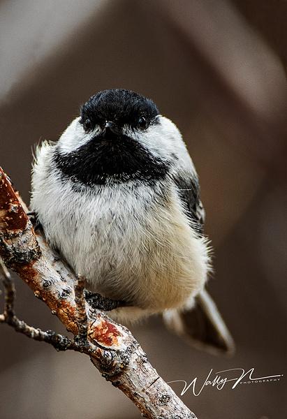 Chickadee_R8A7881 - Birds - Walter Nussbaumer Photography