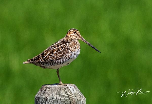 Snipe_R8A8518 - Birds - Walter Nussbaumer Photography
