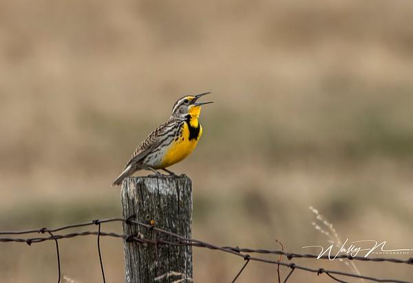 Meadowlark_R8A7328 - Birds - Walter Nussbaumer Photography