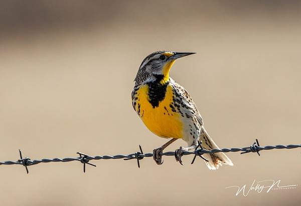 Meadowlark_R8A7837 - Birds - Walter Nussbaumer Photography