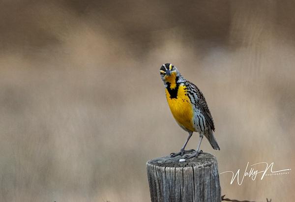 Meadowlark_R8A7635 - Birds - Walter Nussbaumer Photography