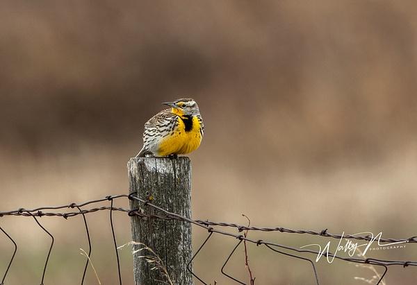 Meadowlark_R8A7354 - Birds - Walter Nussbaumer Photography