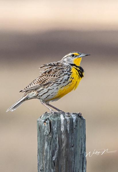 Meadowlark_R8A7827 - Birds - Walter Nussbaumer Photography