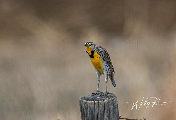 Meadowlark_R8A7636 - Birds - Walter Nussbaumer Photography