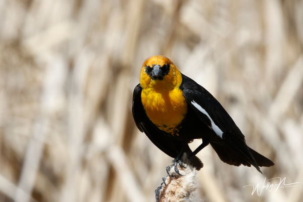 Yellow Headed Blackbird_R8A8252 - Birds - Walter Nussbaumer Photography