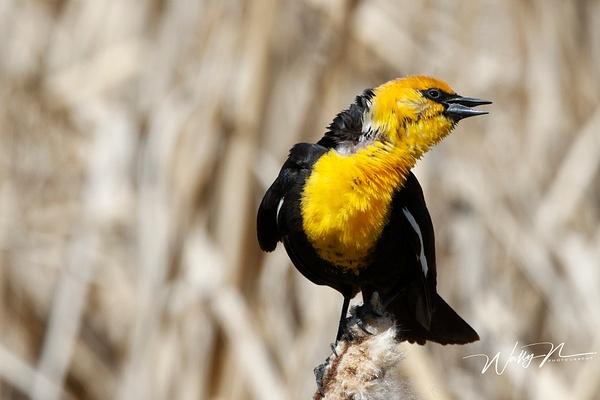 Yellow Headed Blackbird_R8A8256 - Birds - Walter Nussbaumer Photography