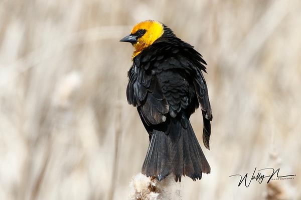 Yellow Headed Blackbird_R8A8241_ - Birds - Walter Nussbaumer Photography
