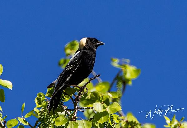 Bobolink_R8A8431 - Birds - Walter Nussbaumer Photography