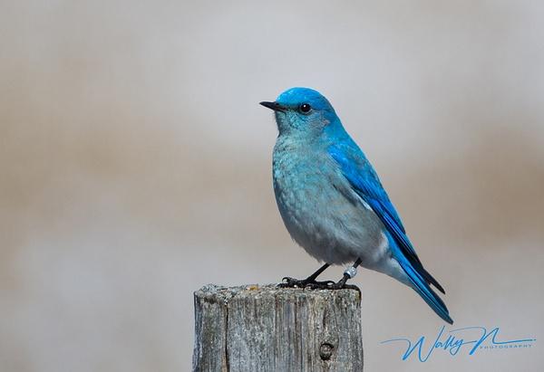 Mountain Bluebird_9_04_2013_073A6450 - Birds - Walter Nussbaumer Photography