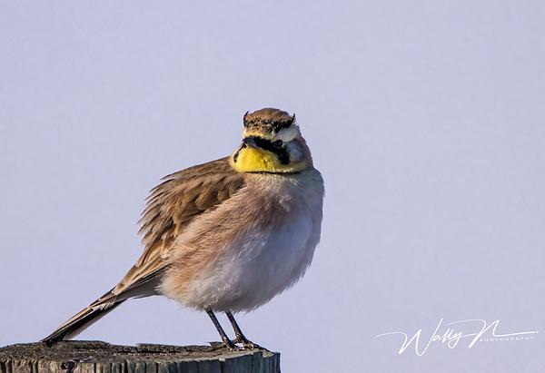 Horned Lark_IMG_5810 - Birds - Walter Nussbaumer Photography