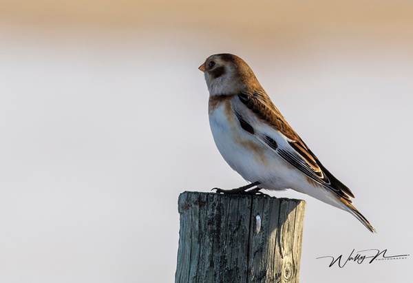 Snow Bunting073A4103 - Birds - Walter Nussbaumer Photography