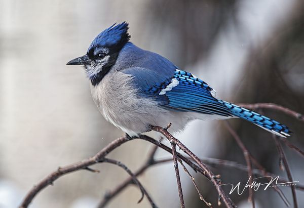 Blue Jay_73A9207 - Birds - Walter Nussbaumer Photography