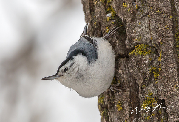 Nuthatch_73A9267 - Birds - Walter Nussbaumer Photography